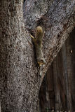 Gray Squirrel Upside Down On Oak Tree Trunk Royalty Free Stock Photography