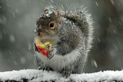 Gray Squirrel in Winter. A cute eastern gray squirrel (Sciurus carolinensis) in a winter snowstorm sitting on a branch eating a piece of apple Royalty Free Stock Images