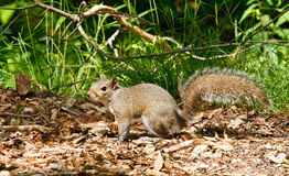Gray Squirrel on Wood Chip Trail Royalty Free Stock Photo