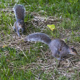 Gray Squirrels Running. Two Gray Squirrels running through a backyard royalty free stock image