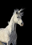 Gray stallion Royalty Free Stock Images