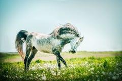 Gray stallion horse running on summer pasture. Outdoor stock image
