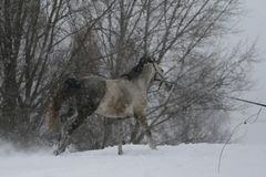Gray stallion plays on the cord in the snowfall in winter. A horse gallops up a hill in deep snow. royalty free stock images