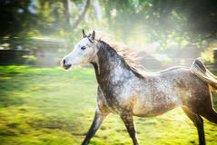 Gray stallion running gallop on summer or spring nature background Royalty Free Stock Photo