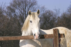 Gray stallion at wintertime Royalty Free Stock Photography