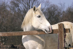Gray stallion at wintertime Stock Photo