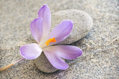 Gray stone and pebble zen background with crocus flower. Gray stone and pebble zen background with blue crocus flower Royalty Free Stock Photography