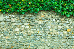 Gray stone wall background and ivy leaves green plants Stock Photo
