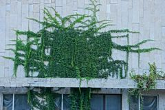 The gray stone wall of the building overgrown with green vegetation and leaves. Gray stone wall of a building with windows overgrown with green vegetation and royalty free stock image