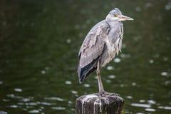 Gray Stork Photo libre de droits