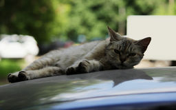 gray stray cat lying in the shade on the roof of the car Stock Images