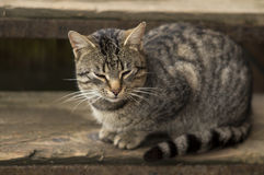 Gray stray cat resting on the stairs Royalty Free Stock Image