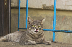 Gray stray cat in yard. Cat with its pink tongue hanging out Royalty Free Stock Images