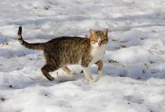 Gray street cat sit in the snow on a cold winter day.  royalty free stock image
