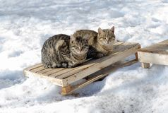 Gray street cat sit in the snow on a cold winter day royalty free stock photo