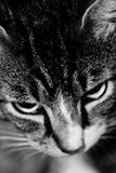 Gray striped cat. Portrait of gray striped cat royalty free stock photos