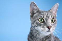 Gray striped cat. A Gray striped cat looking off to side stock photos