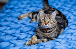 Gray striped cat on a blue knitted background. Beautiful adult cat royalty free stock photos