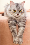 The gray striped cat of breed of Shinshil. Stock Photo