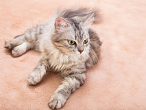 The gray striped cat of breed of Shinshil. Royalty Free Stock Photo