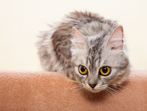The gray striped cat of breed of Shinshil. Royalty Free Stock Image