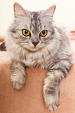 The gray striped cat of breed of Shinshil. Royalty Free Stock Photography