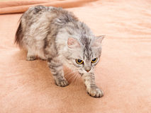 The gray striped cat of breed of Shinshil. Royalty Free Stock Images