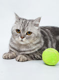 Gray striped cat. With bright green ball Royalty Free Stock Photography
