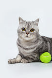 Gray striped cat. With bright green ball Royalty Free Stock Photos