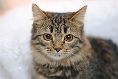 Gray striped cat. Close portrait on light background. Gray tabby cat. Close portrait on on light background Stock Images
