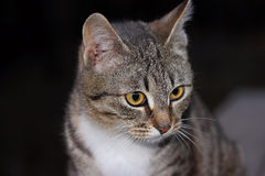 Gray striped cat Royalty Free Stock Images