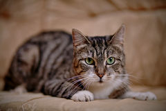 Gray striped cat with green eyes. Royalty Free Stock Photo