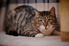 Gray striped cat with green eyes. Stock Image