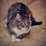 Gray striped cat with green eyes. Royalty Free Stock Images