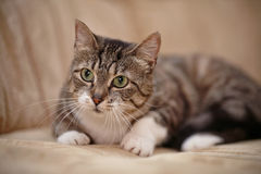 Gray striped cat with green eyes. Stock Photo