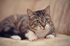 Gray striped cat with green eyes. Stock Photos