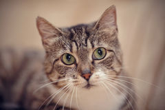 Gray striped cat with green eyes. Royalty Free Stock Image