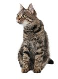 Gray striped cat looking left. Isolated white Royalty Free Stock Photos