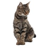 Gray striped cat looking right. Isolated white Stock Image