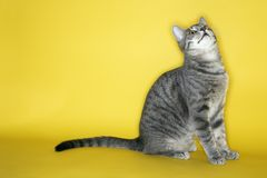 Gray striped cat looking up. Stock Photography