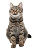 Gray striped cat looking up. Isolated white Stock Photos