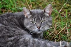 Gray striped cat Royalty Free Stock Photo