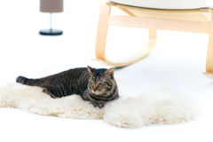 Gray striped cat lying on carpet Stock Photo