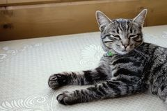 Gray striped cat lying on a table with eyes closed.  stock images