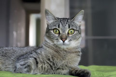 Gray striped cat with M-letter on brow. Gray striped cat with M-letter on brow, laying on green cover Stock Images