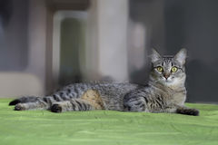 Gray striped cat with M-letter on brow. Gray striped cat with M-letter on brow, laying on green cover Stock Photo
