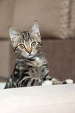 Gray striped cat playful cute home Royalty Free Stock Photo
