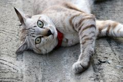 Gray striped cat with red cat collar on the concrete floor. It is a small domesticated carnivorous mammal with soft fur Stock Images