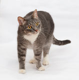 Gray striped cat standing on gray Stock Image