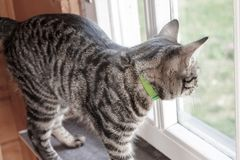 Gray striped cat standing on a window sill and looking out of the window royalty free stock photography